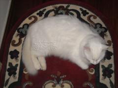 DSCN97085_miomicio_ (applecandy spica) Tags: white cat furry kitten chat soft kitty fluffy sleepingcat katze fatcat chubby weiss gatto bianco blanc kittie ktzchen micio chaton gattino weis soffice peloso morbido gattone micetto micione gattodorme gattochiatto