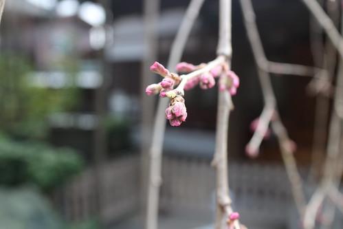 浦和玉蔵院の枝垂れ桜開花直前2015
