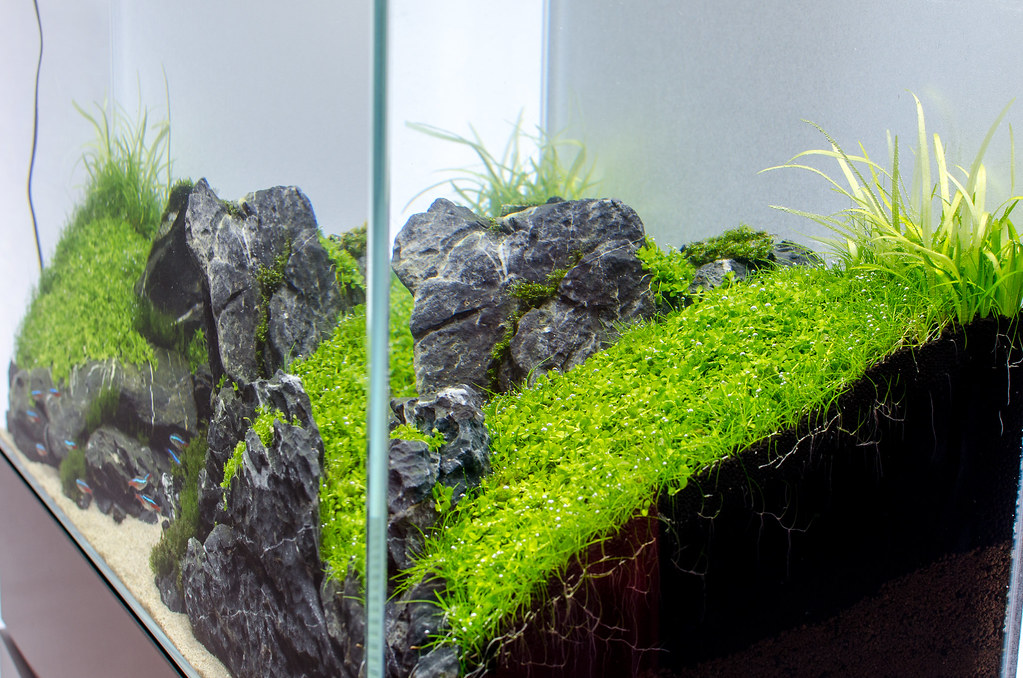 ADA 60P   3 Weeks (ionutgabriel) Tags: Aquarium Ada Maintenance  Beforeandafter Aquascape Aquascaping
