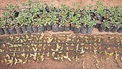 IMG_0838_290 (scenescape-partners) Tags: cactus india plant succulent aloe nursery lithops euphorbia variegated agave haworthia cycas rare sansevieria gasteria zamia jatropha scenescape caudiciform monstrose encphalartos