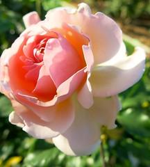 spring blooms of sacramento series (he who would be lost) Tags: california flowers sunlight flower macro up rose scott petals spring close blossom interior petal richard bloom sacramento bursting torbakhopper