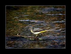 Grey wagtail (tkimages2011) Tags: bird water grey dam sthelens wagtail merseyside greywagtail carrmill
