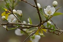 Living in harmony (holdit.) Tags: tree fruit blossom pear shrub forsuthia