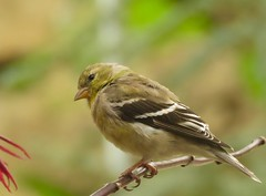 American Goldfinch Female (Trish Overton) Tags: bird birds female americangoldfinch