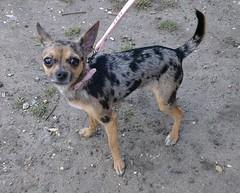 Mitzee (Moldovia) Tags: dog pet chihuahua animal mexico outdoor small canine tiny chiwawa pedigree mitzee htconex