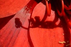 Amaryllis Stamen (Clint__Budd) Tags: shadows macromondays