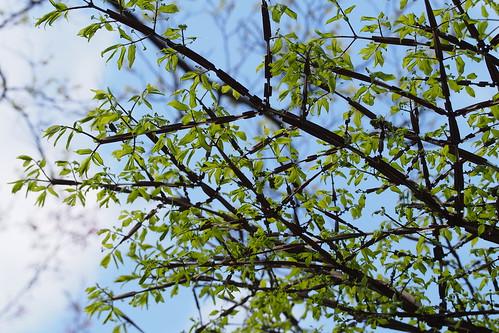 Winged Euonymus (Euonymus alatus)