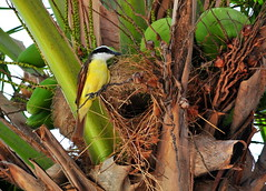 Great kiskadee and its nest in a coconut palm on Peninsula Papagayo, Costa Rica (sooolaro) Tags: costa tree bird yellow nest coconut great rica palm peninsula birdnest papagayo kiskadee