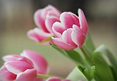 ~Under the giving snow blossoms a daring spring. ~Terri Guillemets (nushuz) Tags: pink thankyou explore tulip happydance happyearthday soprettyinpink tulipssayspring springtimeinvt stillunseasonablycool gladewinterisover snowtendaysagonowtupips