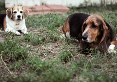 Chillin' (writeonmusic) Tags: portrait dog beagle grass canon eos rebel 50mm hound basset bassethound hounddog eosrebel 450d