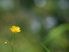 Buttercup Bokeh (gezipt1) Tags: green grass wow outside photography prime countryside flora dof bokeh hiking balls f18 45mm omd olympys mzuiko em10markii