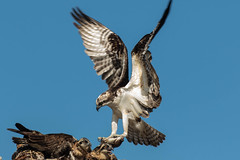 pops bringing home dins.....mother in the background head (island deborah- nature website deborahfreeman.ca- ) Tags: osprey cowichan bay babies male fish