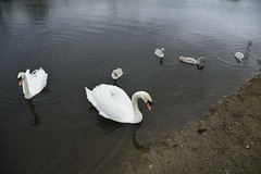 Rabbit Ings (238) (rs1979) Tags: rabbitings royston barnsley southyorkshire yorkshire pond muteswan muteswans swan swans cygnet cygnets