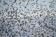 tourneaux sansonnet (kingfisher001) Tags: oiseau oiseaux grands omnivore groupes passriformes tourneausansonnet sturnids