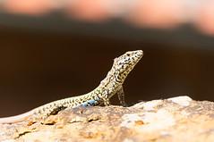 Lucertola al sole d'estate (drtchocky86) Tags: lucertola sole sun lizard rettile reptile