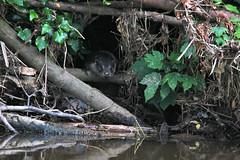 European Otter, Lutra lutra (11) (Geckoo76) Tags: otter lutralutra europeanotter