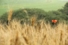 a poppy in a field (Dany Morgens) Tags: gerolstein poppy red feld getreide mohnblume