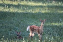 IMG_9155 (thinktank8326) Tags: nature wildlife deer spots fawn whitetaileddeer babyanimal