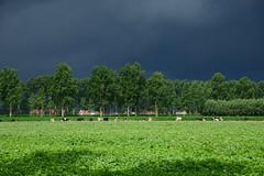 Near Damme DST_5658 (larry_antwerp) Tags: belgium belgi          damme field veld koe cow thunderstorm onweer