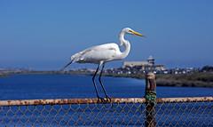 Egret at PCH (F.emme) Tags: greategret egret birds bolsachica bolsachicaecologicalreserve bolsachicawetlands wetlands shorebirds negativespace