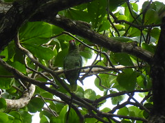 Parrot - Costa Rica (ashabot) Tags: costarica caribbean jungle centralamerica centroamerica bird birds parrot wildlife wildparrot green