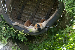 Upside down nap time (vic_sf49) Tags: vicsf49 uk england dorset monkeyworld cronin