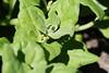Neuseeländer Spinat mit gelben Blüten (fromourgarden) Tags: bodendecker mischkultur gartenbau gemüsegarten kitchen garden tetragonia tetragonoides blüte neuseeländer spinat