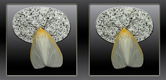 Cycnia Tenera, Delicate Cycnia Moth 1 - Crosseye 3D (DarkOnus) Tags: cycnia tenera delicate moth pennsylvania buckscounty huawei mate8 cell phone 3d stereogram stereography stereo darkonus closeup macro insect crossview crosseye