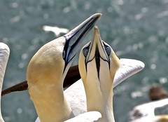Gannets / Basstlpel (heiko.moser ( 9000000 views )) Tags: gannets basstlpel vogel vgel animal animale bird natur nature natura nahaufnahme canon closeup helgoland outdoor heikomoser