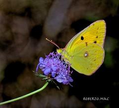LA LIMONCELLA:-)) (Roberto.mac.) Tags: farfalla limoncella natura bosco paesaggi colori robertomac