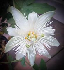 White Passion Flower (J_Richard_Link) Tags: white plant flower macro flora blossom availablelight vine passiflora passionflower