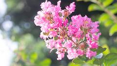 201608_12_2560 (noriko_v) Tags: crapemyrtle flower summer nature