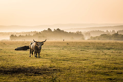 too close (Goddl) Tags: wiese weide longhorn morgens nebel dunst meadow pasture morning mist