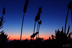 Iluminados por un mismo sol (alexrf96) Tags: zahara zaharadelosatunes playa beach sol sun sunset puestadesol contraluz contraste contrast planta plant vegetacin