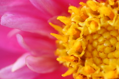 Up, close and personal (Ingunn : )) Tags: macrophotography canonmacro macro garden summer yellow pink dahlia flower