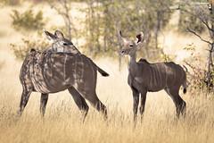 Greater kudu female with her cub (dieLeuchtturms) Tags: 3x2 afrika artiodactyla bovidae bovinae etoshanationalpark groserkudu horntrger namibia oshikoto paarhufer ruminantia sugetiere tragelaphusstrepsiceros vertebrata vertebrates wiederkuer wirbeltiere greaterkudu mammals kunene pecora stirnwaffentrger