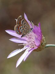 Silver-studded Blue (chaz jackson) Tags: silverstuddedblue plebejusargus lycaenidae butterfly insect macro blue macedonia