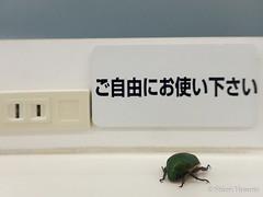 Anomala cuprea (Shiori Hosomi) Tags: 2016 august japan tokyo 23  insects entomon           coleoptera scarabaeidae hoplia      anomala
