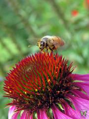 A busy bee on a purple coneflower (Swallowtail Garden Seeds) Tags: coneflower echinacea echinaceapurpurea bee honeybee apis insect macro flower macroflower flowermacro swallowtailgardenseeds perennial perennialflower pollination pollinator