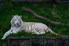 Pairi Daiza Zoo 2016 (Anas Ak) Tags: pairidaiza zoobelgium zoo2016 whitetiger tigreblanc tigerpairidaiza whitetigerbelgium tigrebelgique tigrezoo whitetigerzooeurope