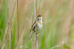 Singing your heart out (beatriceverez) Tags: reed warbler reeds nature bird singing beak hungary
