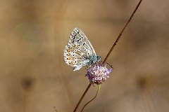3P6A2834 (Ludo_M) Tags: nature fauna faune wildlife macro papillon butterfly ef70200mmf28lisiiusm canoneos7dmarkii canon eos 7d markii insecte insect