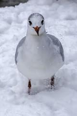 Möwe im Floßhafen (mrocek) Tags: möwe aschaffenburg bayern deutschland mainufer main schnee schneefall winter ufer unterfranken vogel vögel panoramio7769543115337693