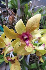 autumn orchids 2 (BarryFackler) Tags: orchid plant flora petals flowers botany gardening outdoor vegetation blooms blossoms life garden home yard horticulture leaves colorful creature tropical captaincookhawaii floral beauty westhawaii cookslanding ecology island kona nature captaincook hawaii bigisland sandwichislands polynesia horticultural ornamentalplant hawaiicounty southkona 2016 barryfackler barronfackler hawaiianislands hawaiiisland captaincookhi organism biology