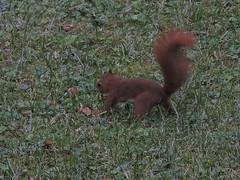 faut que je m'en souvienne ce coup-ci (laetitiablabla) Tags: yonne bourgogne burgundy france nature ecureuil roux red squirrel mammifere animal fantastic