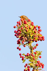King of His Castle (Wander_bug) Tags: 5dsr 5ds canon eos sigma 150600 contemporary c robin male singing tree branch high berries