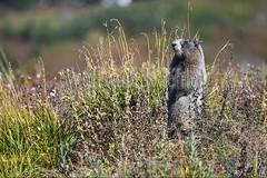 00159356 (wolfgangkaehler) Tags: 2016 northamerica northamerican usa unitedstates unitedstatesofamerica washingtonstate mtrainier mtrainierwa mountrainier mountrainierwa nationalpark mtrainiernationalpark paradise paradisemtrainier wildlife rodent rodents marmot marmots hoarymarmotmarmotacaligata hoarymarmot hoarymarmots