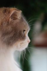 Molly (rampx) Tags: portrait cat pentax profile molly neko scottishfold   dilutecalico miaw 645z