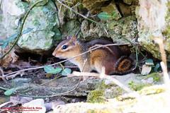 Chipmunk - Percy Warner Park - March 24, 2015 (mikerhicks) Tags: usa geotagged spring unitedstates nashville hiking tennessee wildlife chipmunk percywarnerpark warnerparks nashvillehikingmeetup vaughnsgap sigma18250mmf3563dcmacrooshsm canoneos7dmkii geo:lat=3607414167 geo:lon=8688046667