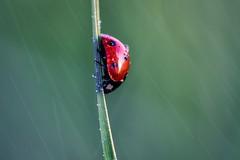 STREET DOWN (sgsierra) Tags: macro verde lluvia rojo mariquita